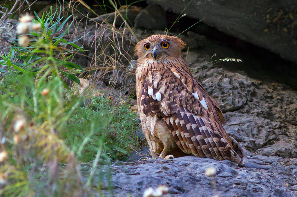 Western Brown Fish Owl