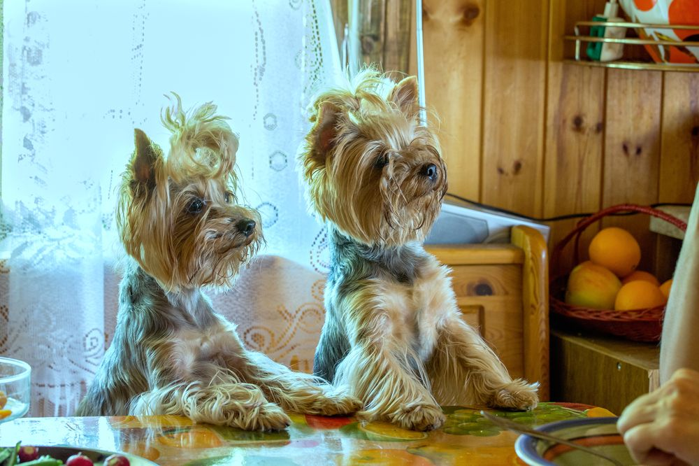 Yorkshire Terriers Photograph by Alexander Novikov
